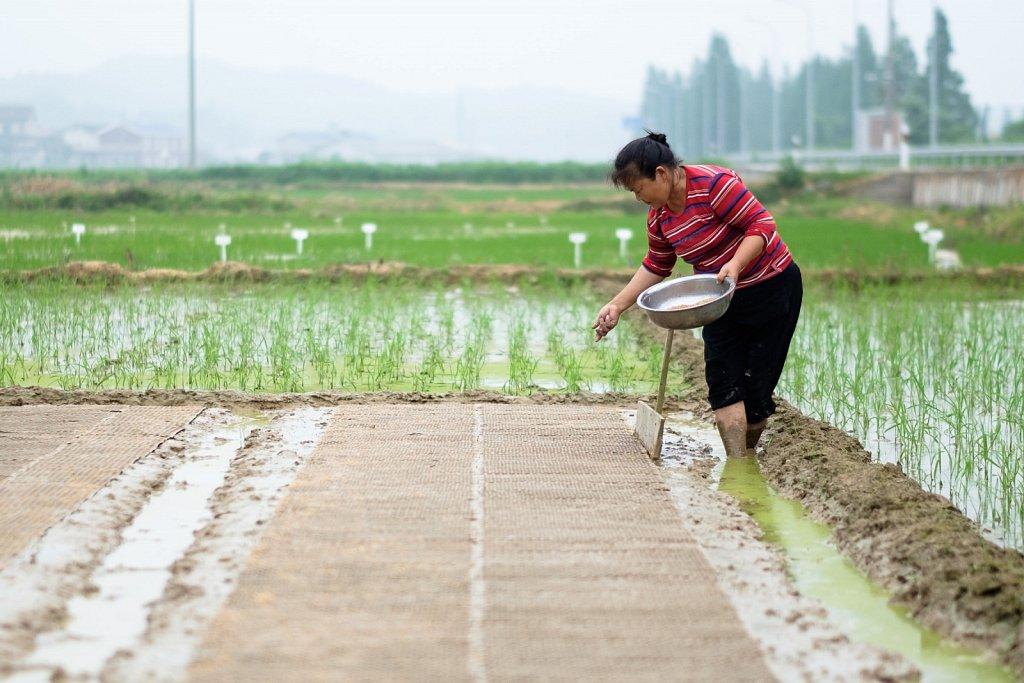 handplanted rice