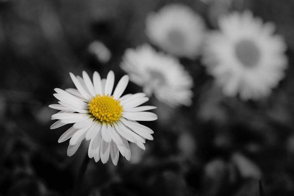 A daisy shines bright